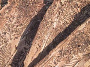 letterzetter, rare vormen in naaldhout