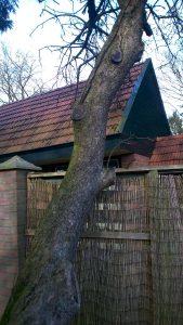 Gevaarlijke (holle) appelboom omzagen Drenthe