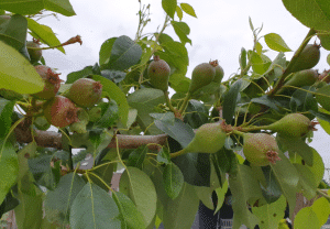 waterlot perenboom snoeien
